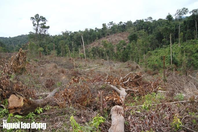 Lâm Đồng: Rừng bị triệt hạ không thương tiếc - Ảnh 7.
