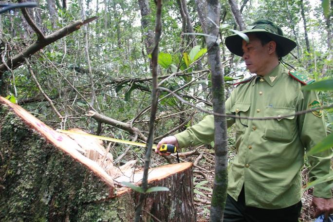 Vụ phá rừng pơ mu: Khởi tố nguyên Đồn phó Đồn Biên phòng - Ảnh 1.