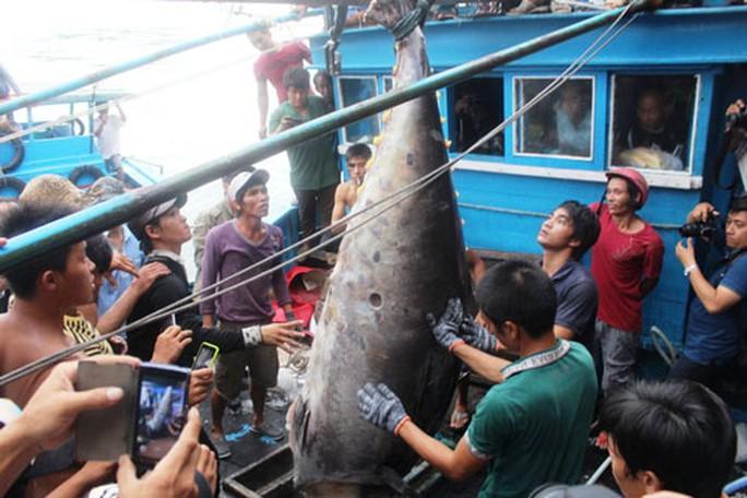 Cá ngừ vây xanh 307 kg lập kỷ lục - Ảnh 1.