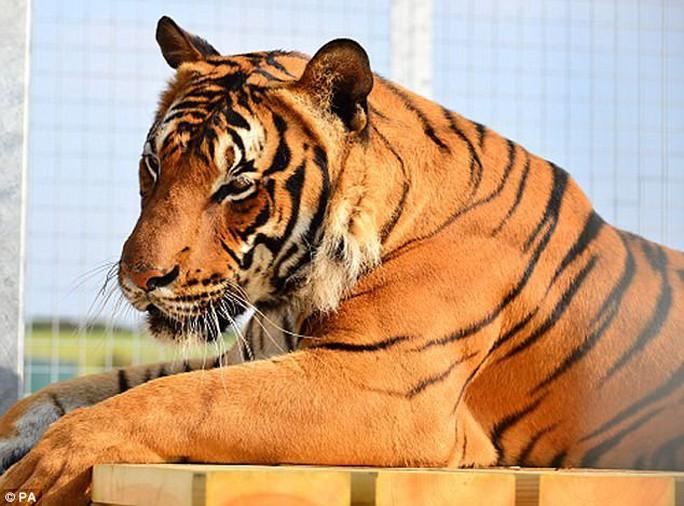 Hổ Malaya quý hiếm vồ chết nhân viên sở thú - Ảnh 2.