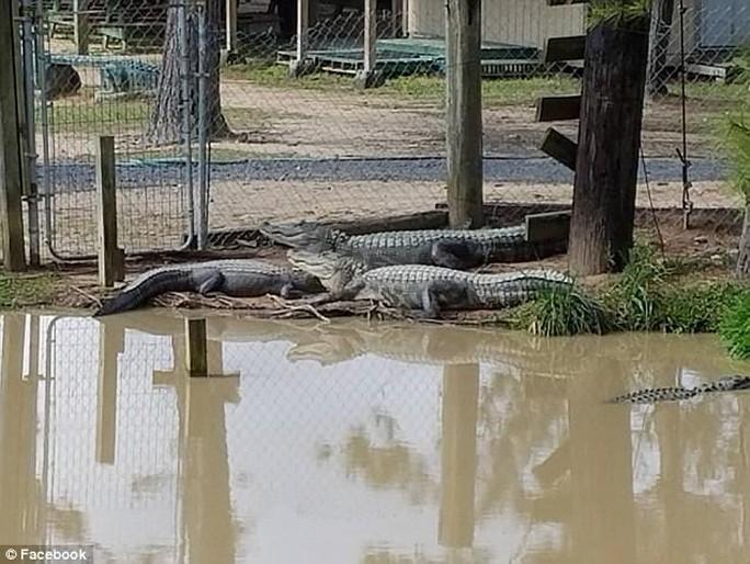 Mỹ: Mối lo 350 cá sấu sổng chuồng vì bão Harvey - Ảnh 2.