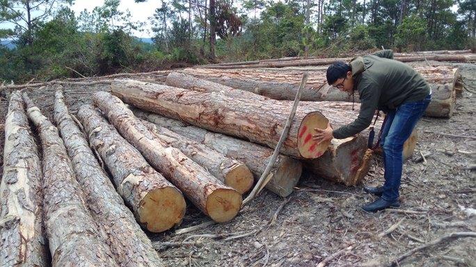 Hạ rừng thông 20 năm tuổi để trồng mắc ca - Ảnh 1.
