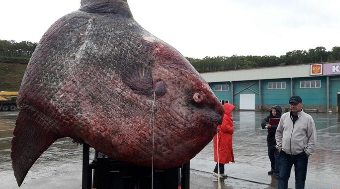 Bắt được cá mặt trời nặng hơn 1 tấn, đem cho gấu ăn - Ảnh 1.