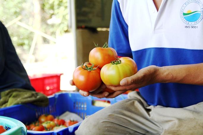 Quả rất đều, đẹp mức bình quân khoảng (300 – 500 g) tức khoảng 3 quả đạt 1 kg, gấp hơn 10 lần so với loại cà chua thường.