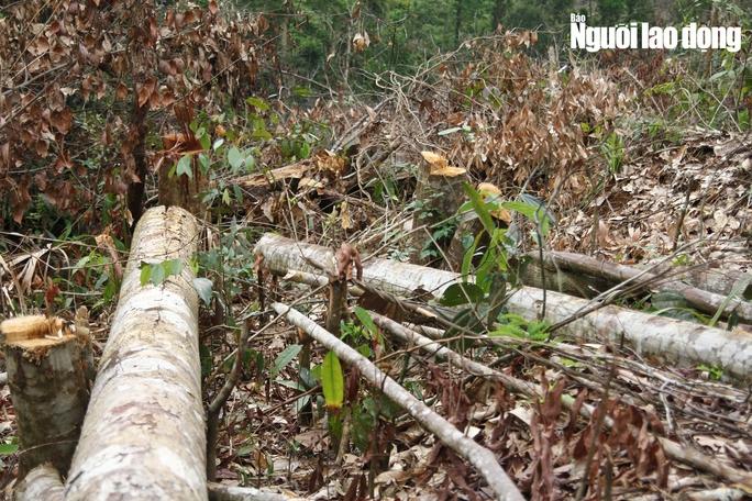 Lâm Đồng: Rừng bị triệt hạ không thương tiếc - Ảnh 4.