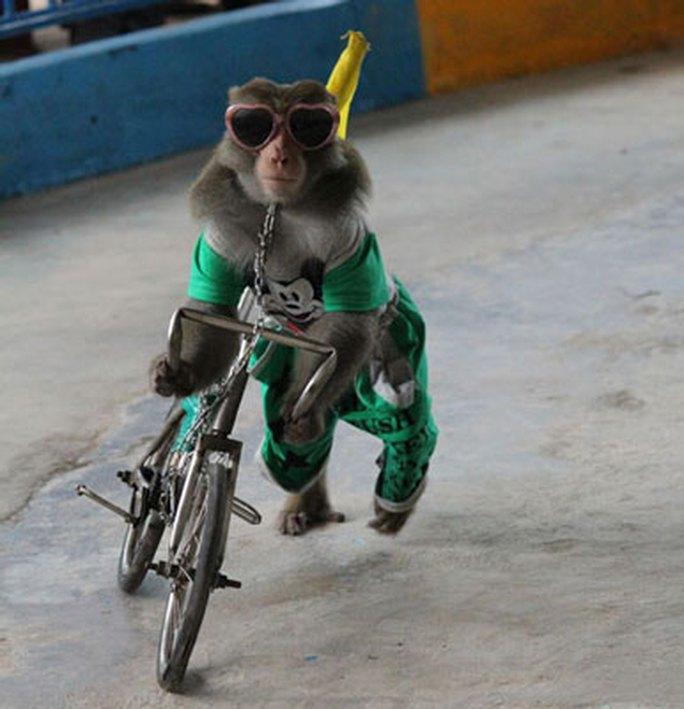 Bị xích cổ, buộc đạp xe, khỉ mỗi ngày phải biểu diễn kiếm tiền ở Khu Dự trữ sinh quyển rừng ngập mặn Cần Giờ Ảnh: HẠNH NGUYÊN