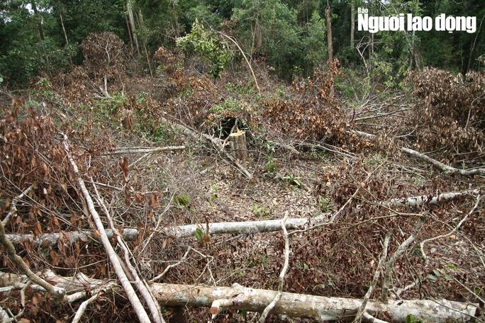 Lâm Đồng: Rừng bị triệt hạ không thương tiếc - Ảnh 3.