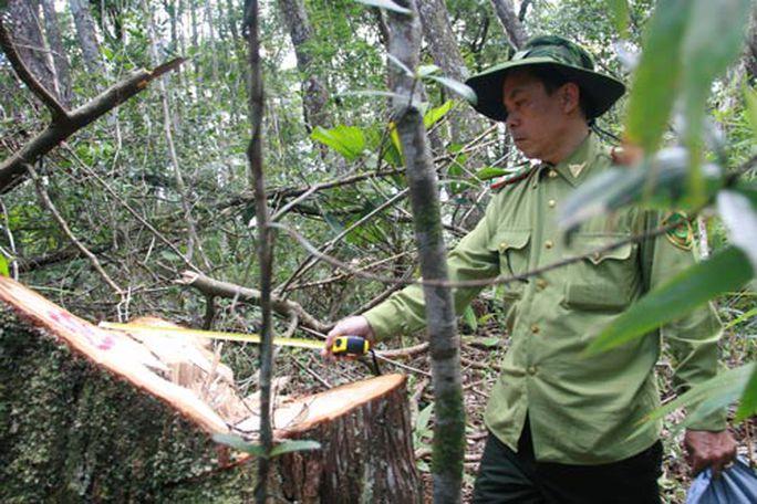 Đã gần một năm trôi qua nhưng vụ thảm sát rừng pơ mu ở tỉnh Quảng Nam vẫn chưa được đưa ra xét xử Ảnh: TRẦN THƯỜNG