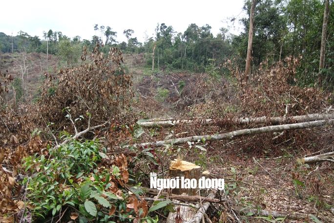 Lâm Đồng: Rừng bị triệt hạ không thương tiếc - Ảnh 2.