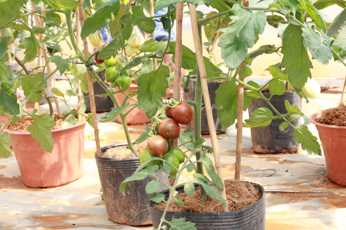 Cà chua đen, dưa Pepino có giá 150.000 - 250.000 đồng/chậu đã được nhiều khách đặt hàng tại vườn.