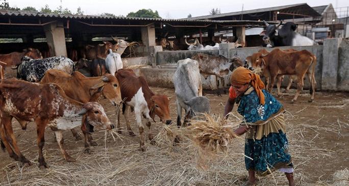 Ấn Độ tranh cãi về luật hạn chế bán trâu, bò - Ảnh 1.