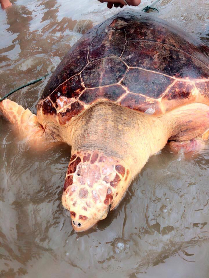 Thả rùa biển quý hiếm nặng 70 kg về môi trường tự nhiên - Ảnh 1.