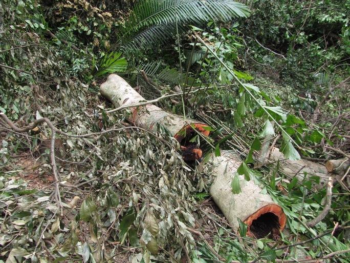 """Một cây gỗ bị rỗng ruột """"lâm tặc"""" để lại"""