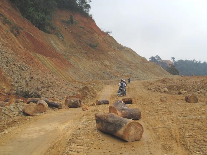 Nhiều khúc gỗ to lớn được tập kết ra đường