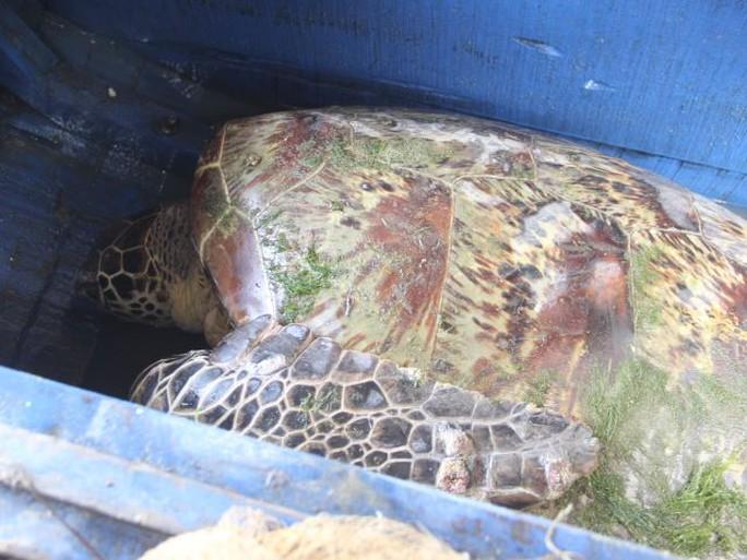 Con rùa màu vàng quý hiếm vướng lưới trên sông Lam