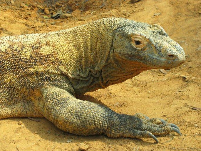 Komodo là loài bò sát khổng lồ sinh sống tự nhiên tại một số đảo thuộc Indonesia. Ảnh: TNT