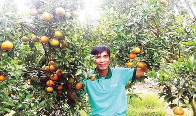 Vườn cam canh của anh Trần Mạnh Chiến