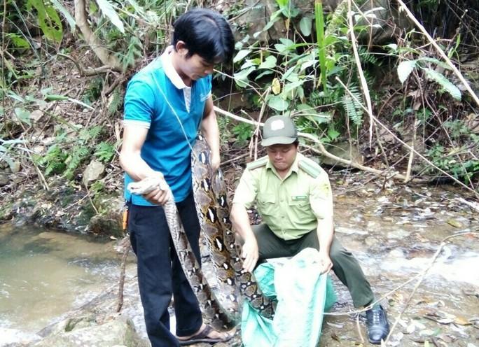 Một đầu bếp thả trăn gấm 17kg về khu bảo tồn - Ảnh 1.