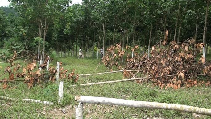 Tá hỏa khi phát hiện hơn 300 cây cao su bị chặt phá - Ảnh 1.