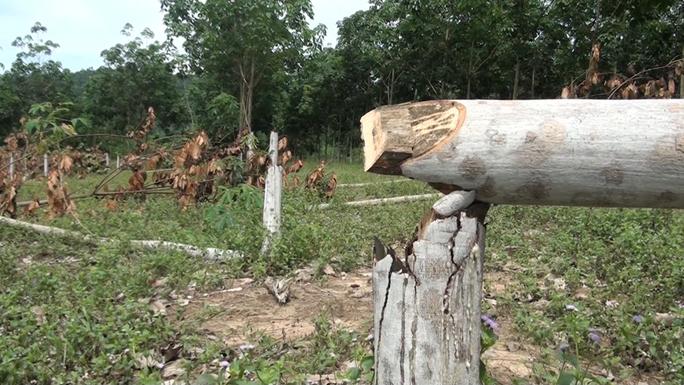 Tá hỏa khi phát hiện hơn 300 cây cao su bị chặt phá - Ảnh 2.