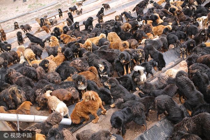Thảm cảnh của chó ngao Tây Tạng - Ảnh 2.
