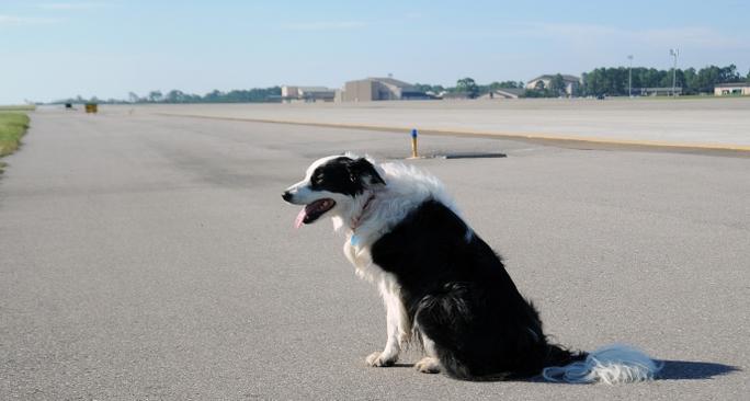 Chú chó trên đường băng sân bay Điện Biên - Ảnh: CTV