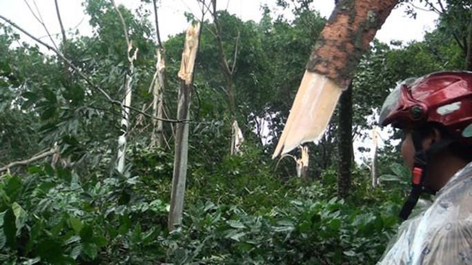 Không dễ xóa cây cao su ở vùng bão - Ảnh 1.