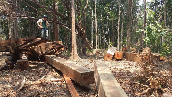 Nhiều cánh rừng ở Tây Nguyên bị lâm tặc ngang nhiên tàn pháẢnh: Hoàng Thanh