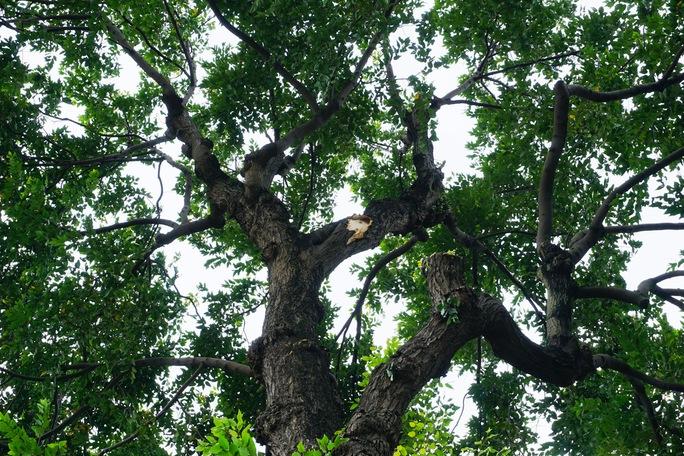 Nhánh cây rơi đè nhân viên bảo vệ trọng thương - Ảnh 3.