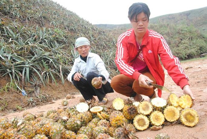 Hàng trăm tấn dứa tại Bản Lầu (Mường Khương - Lào Cai) bị thối nhũn không phải do sâu bệnh. Ảnh: Kế Toại