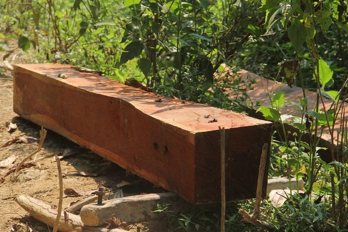 Lâm tặc ngang nhiên phá rừng ở Bắc Trà My