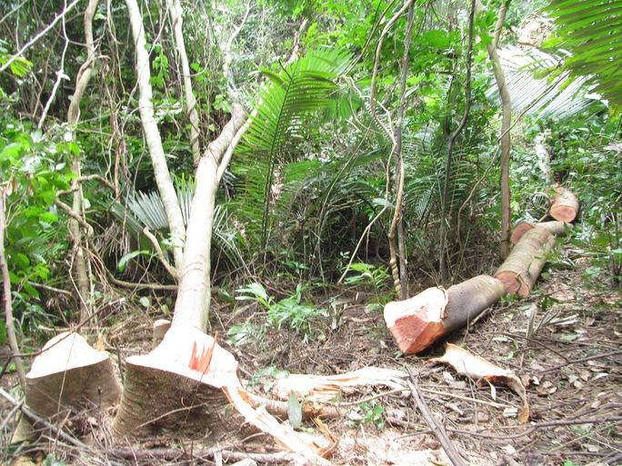 Nhiều cây gỗ lớn trong rừng phòng hộ Hướng Hóa- Đakrông bị đốn hạ không thương tiếc