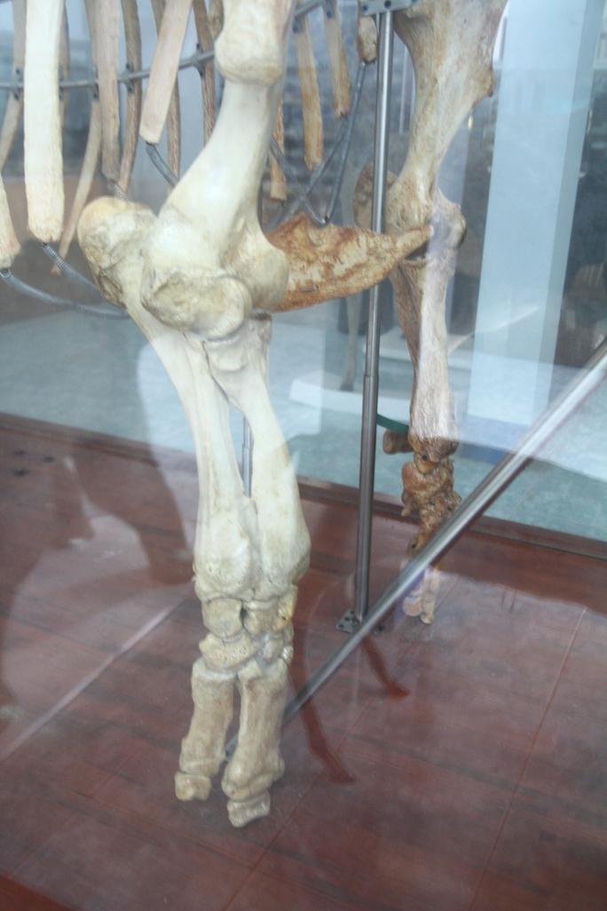 Chiêm ngưỡng bộ xương tê giác Java cuối cùng của Việt Nam - Ảnh 3.
