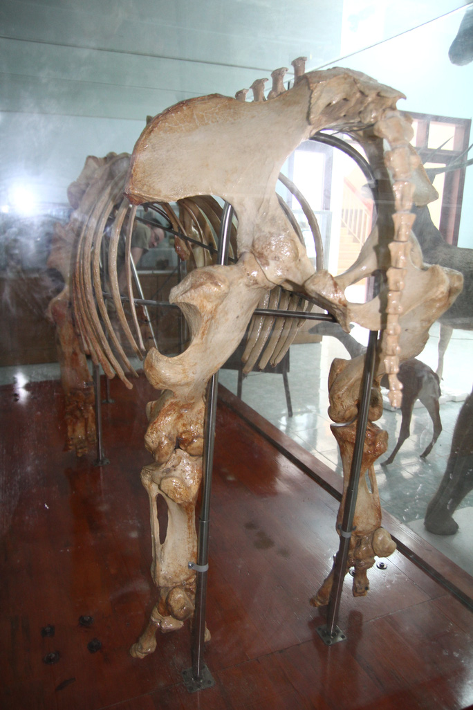 Chiêm ngưỡng bộ xương tê giác Java cuối cùng của Việt Nam - Ảnh 2.