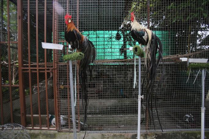 Còn đây là gà Onagadori thuộc giống gà quý ở Nhật Bản với bộ lông đuôi rất dài được chào bán với giá 65 triệu đồng một cặp.