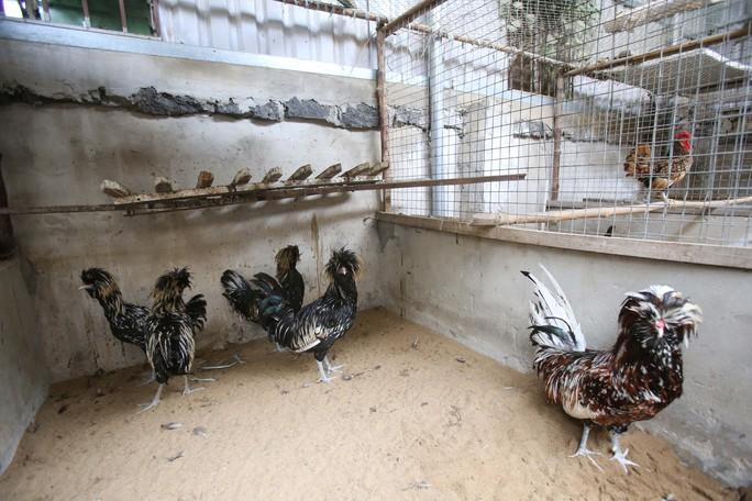 Đây là một trong những giống gà cảnh được sưu tầm và ưa chuộng nhất hiện nay trên thế giới.