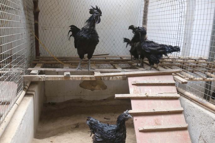 Gà đen mặt quỷ được nhập từ Indonesia về nuôi. Vẻ độc lạ của loại gà này là đen toàn tập, từ từ bên ngoài cho đến bên trong thậm chí tất cả nội tạng và máu cũng đen.
