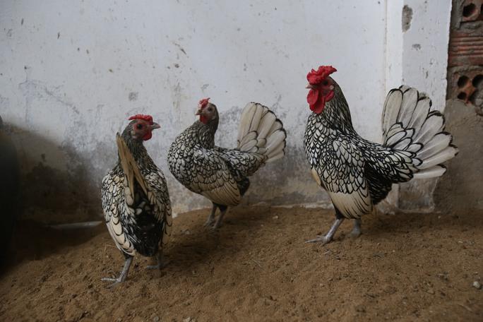 Giống gà này với hình dáng oai dũng, cộng với vẻ thanh tao và quý phái, nên chúng có tên gọi đầy may mắn gà Đại Cát. Giá loại gà này được chào bán lên đến 8 triệu/cặp