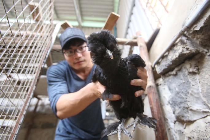 Giống gà này khá hiếm và được nhiều người trong giới sinh vật cảnh và những người đam mê gà kiểng tìm mua với giá 25 triệu đồng 1 căp gà trưởng thành.