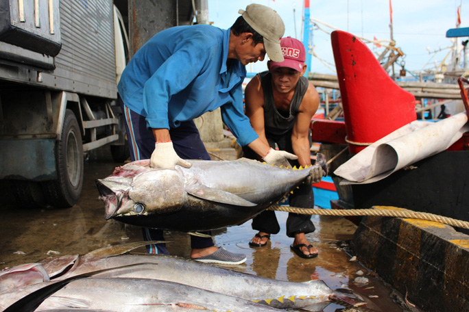 Sản lượng đợt cá trước tết Nguyên đán Đinh Dậu 2017 đạt khá, mỗi tàu câu được 20-40 con