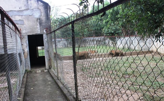 Cận cảnh đàn hổ dữ nuôi nhốt trái phép ở Thanh Hóa - Ảnh 4.
