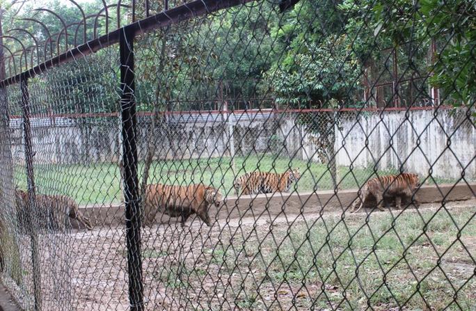 11 con hổ được nuôi nhốt trái phép ở Thanh Hóa - Ảnh 1.