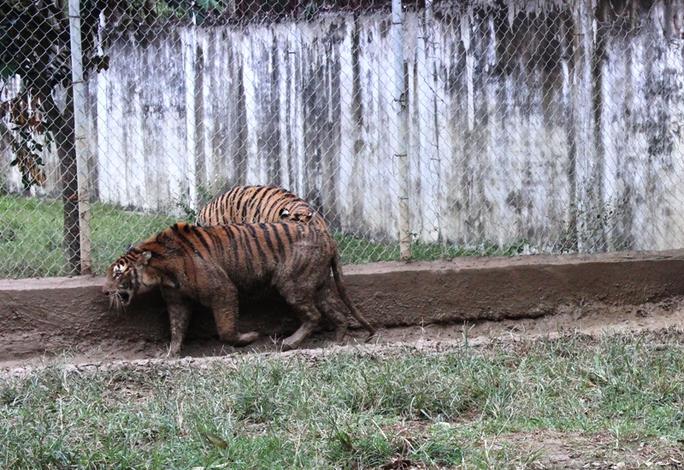 Cận cảnh đàn hổ dữ nuôi nhốt trái phép ở Thanh Hóa - Ảnh 6.
