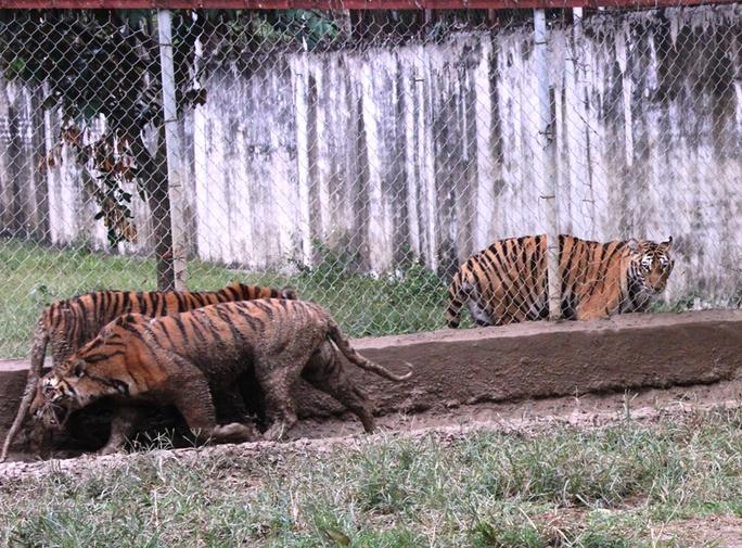 Cận cảnh đàn hổ dữ nuôi nhốt trái phép ở Thanh Hóa - Ảnh 5.