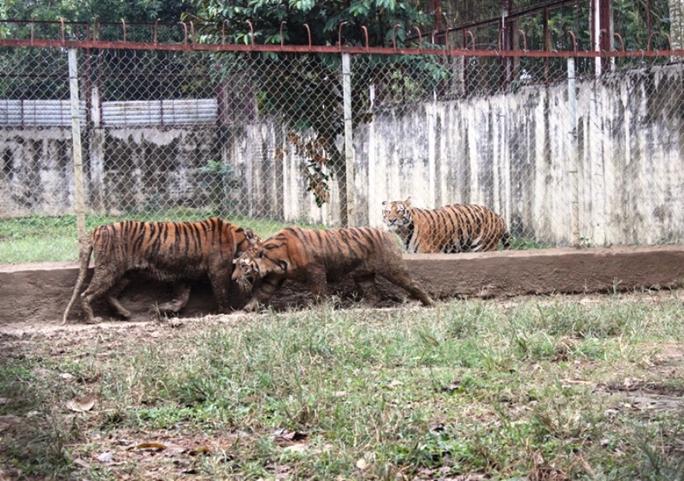 Cận cảnh đàn hổ dữ nuôi nhốt trái phép ở Thanh Hóa - Ảnh 9.
