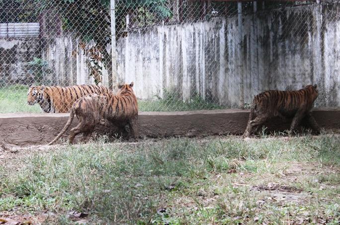 Cận cảnh đàn hổ dữ nuôi nhốt trái phép ở Thanh Hóa - Ảnh 8.