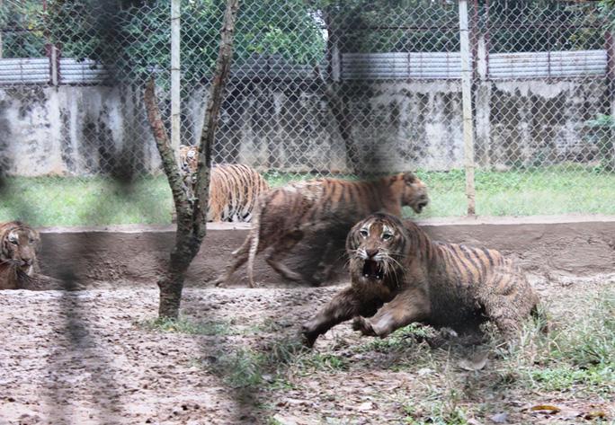 Cận cảnh đàn hổ dữ nuôi nhốt trái phép ở Thanh Hóa - Ảnh 1.
