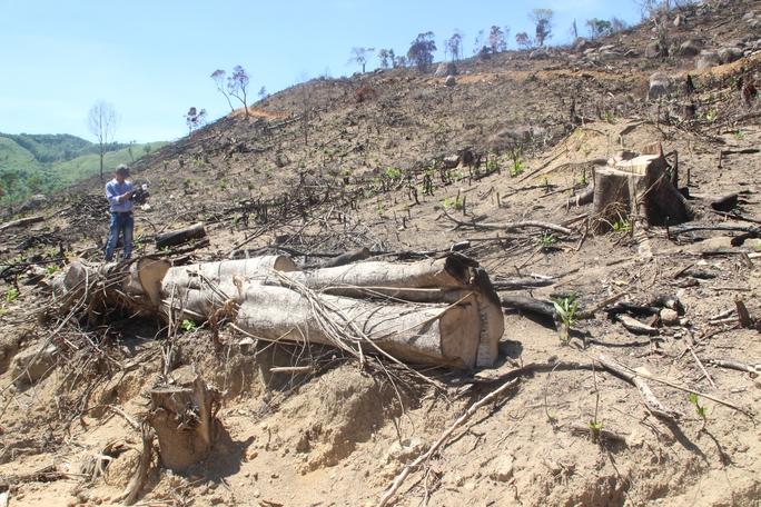 Khởi tố vụ phá rừng tự nhiên lớn nhất ở Bình Định - Ảnh 1.