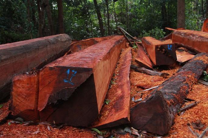 Cận cảnh công trường khai thác gỗ lậu khủng ở Đắk Lắk - Ảnh 4.