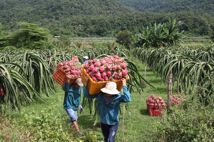 Thanh long Bình Thuận lao đao vì giá sụt giảm kỷ lục - Ảnh 4.